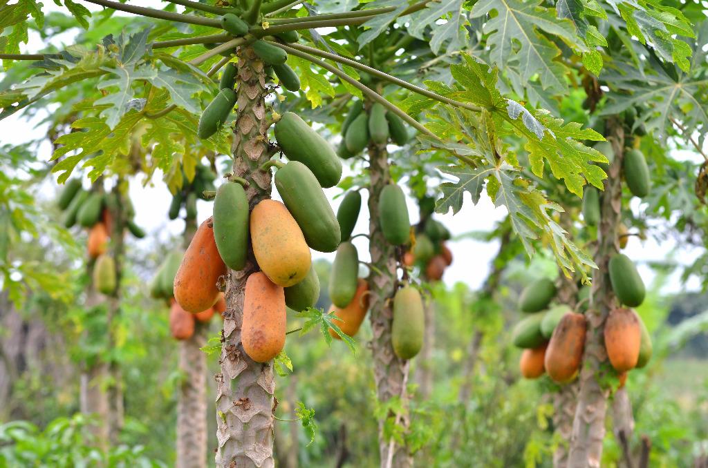 Papaja - właściwości zdrowotne w Bakalie.com